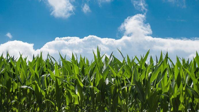 Les cours du maïs remontent, mais pas les chiffres d'affaires des exploitations, a souligné l'AGPM le 21 octobre