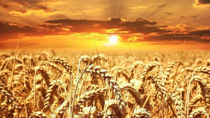 champ de ble sous le soleil
