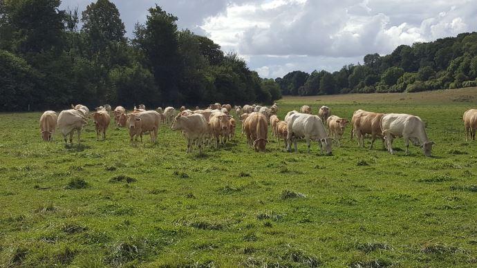 bovins viande dans prairies