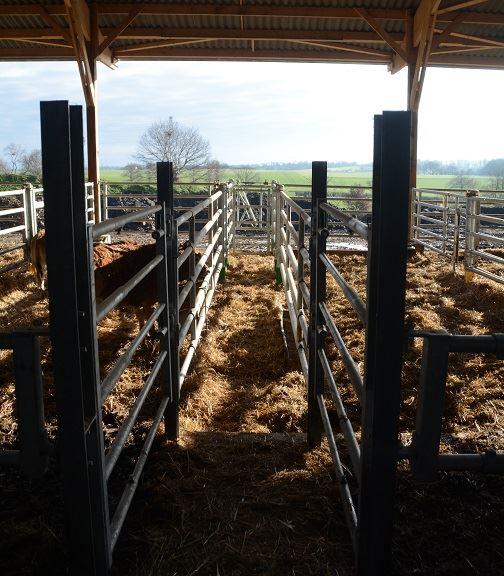 Contention dans un bâtiment bovin viande