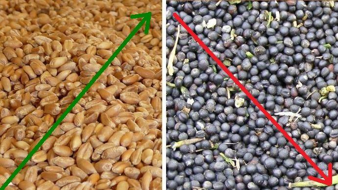 grains de ble et graines de colza