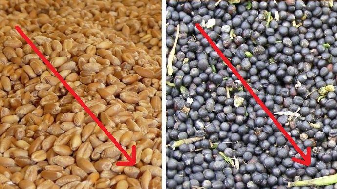 grains de ble et de colza