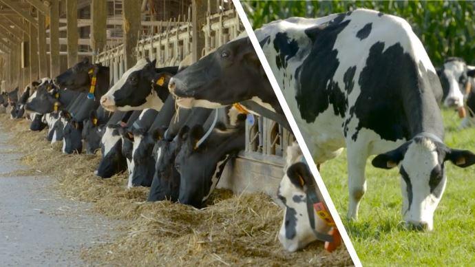 Comparaison d'un système laitier maïs VS herbe