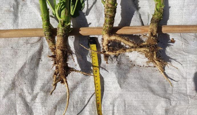 Différence d'implantation entre une parcelle en pleine floraison et une parcelle peinant à fleurir