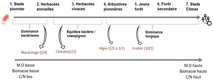 Succession écologique dans le sol et ratio champignons/bactéries à viser pour son système de culture.