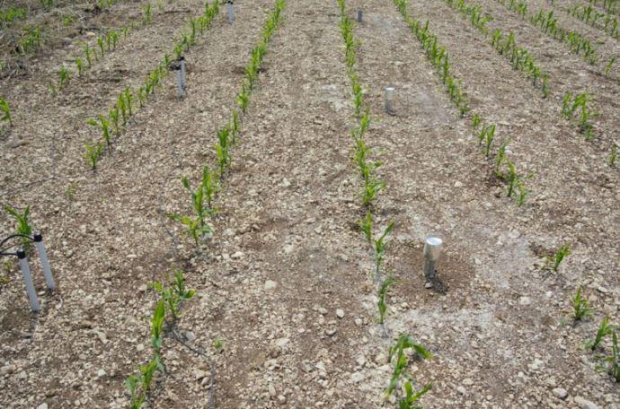 Etat du maïs au 1er juin, pour un semis le 15 avril sur sol nu.