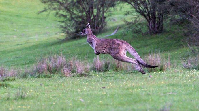 Wallaby bondissant