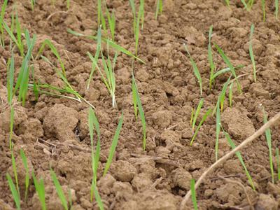 Herbaflex arrive sur le marché du désherbage d'automne des céréales