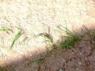 Maïs et soja victimes de la chaleur en Chine