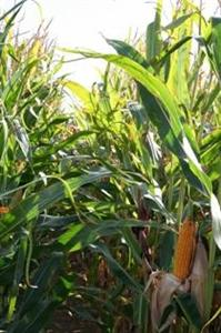 Etats-Unis : 103 q/ha sur plus de 32 millions d'hectares !