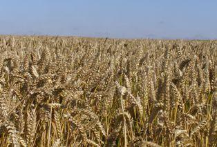 Seulement de bonnes perspectives pour les livraisons de blé tendre