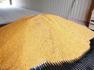 Blé, maïs et soja profitent de la sécheresse à l'est