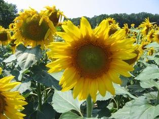 Estimation des récoltes françaises 2010 : 1,62 million de tonnes