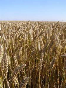 Les prix du blé s'envolent face à une météo défavorable