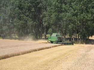 Le maïs recule encore devant la météo, le blé suit
