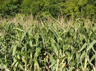 Arvalis-Institut du végétal : « La bonne récolte 2011 permettra de reconstituer les stocks fourragers »