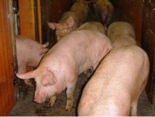 L'industrie d'abattage et de découpe au bord du gouffre, selon le Sniv-Sncp