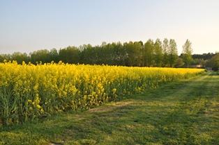 Le colza européen reste atone, le soja américain en léger repli
