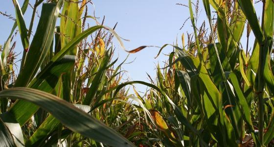 Stocks mondiaux de maïs en recul mais bilan inchangé pour les Etats-Unis