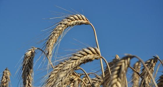 Le soja recule mais le maïs et le blé se ressaisissent