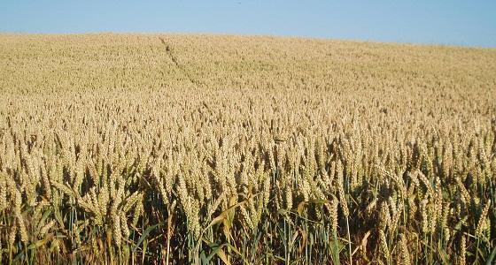 Le maïs, le blé et le soja en baisse dans un marché volatil