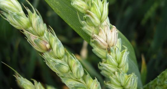 La gestion des résidus de maïs réduit le risque de contamination des blés par les ascospores de Fusarium graminearum, un des agents responsables de la fusariose des épis et de la production de Don.
