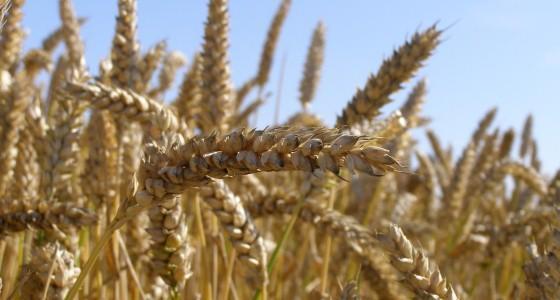 Les prix du maïs et du soja confortent leur progression