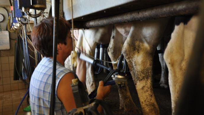 La traite, un travail d'équipe entre la vache et le trayeur