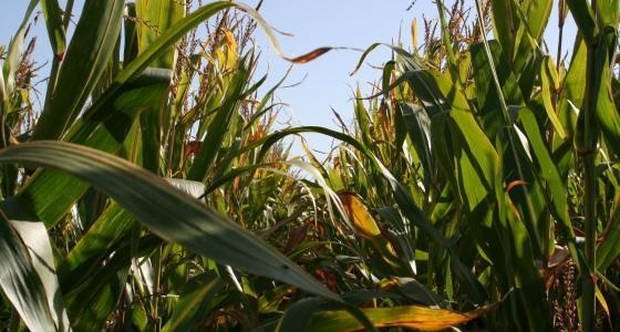 Le maïs et le soja toujours dépendants de la météo sud-américaine