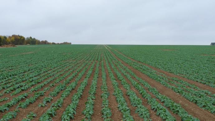Les colzas Clearfield commencent à se déployer aux prochains semis