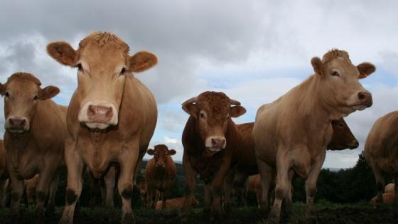 Le site de FranceAgriMer publie de nouvelles grilles de cotation des gros bovins