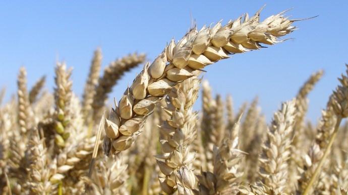 Le scénario compétitif et « pac-compatible » pour produire 42 Mt de blé