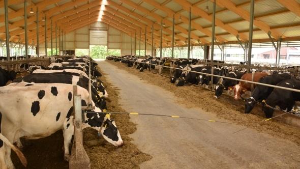 Grand troupeau de laitières