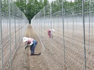 Travailleuses agricoles japonaises.