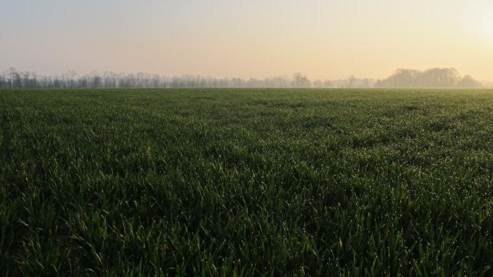 Champ de blé au lever du jour