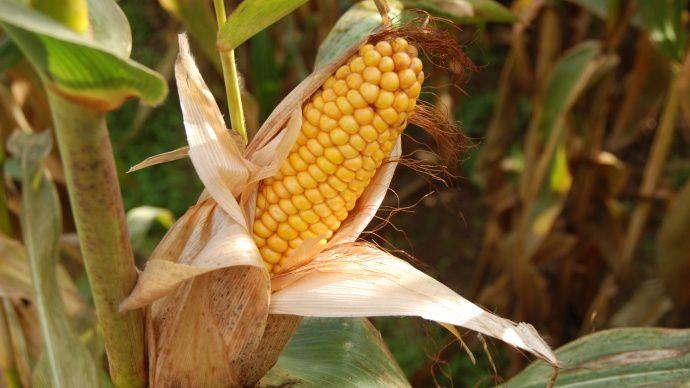 eoi de maïs
