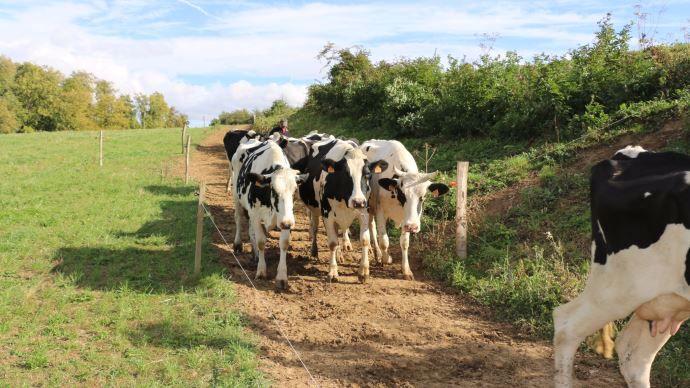 Vaches laitières sur un chemin de pâturage
